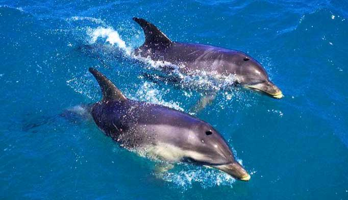 Dolphins in the Lake